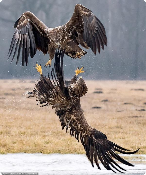 Воздушный поединок двух орлов в Польше