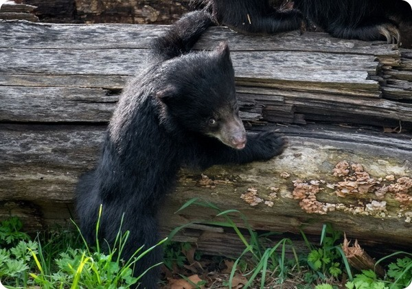 Зоопарк Кливленда представил детёныша медведя-губача