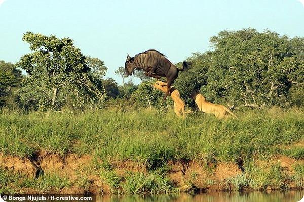 Антилопа Гну ловко уходит от погони в парке Крюгера