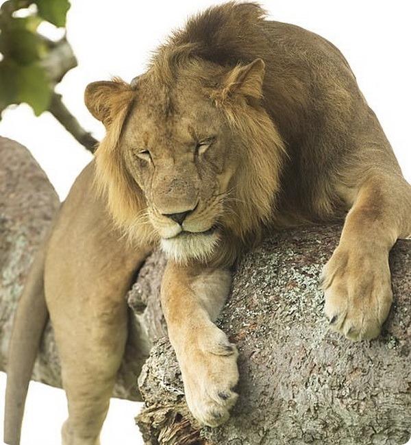 Львы отдыхают на деревьях в одном из национальных парков Уганды