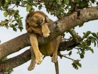 Львы отдыхают на деревьях в национальном парке Уганды
