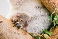 В зоопарке Тампы детеныш коалы показался из сумки матери