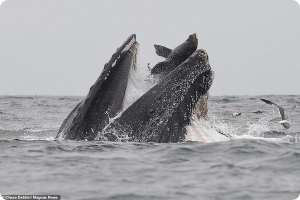Морскому льву удалось сбежать из пасти горбатого кита