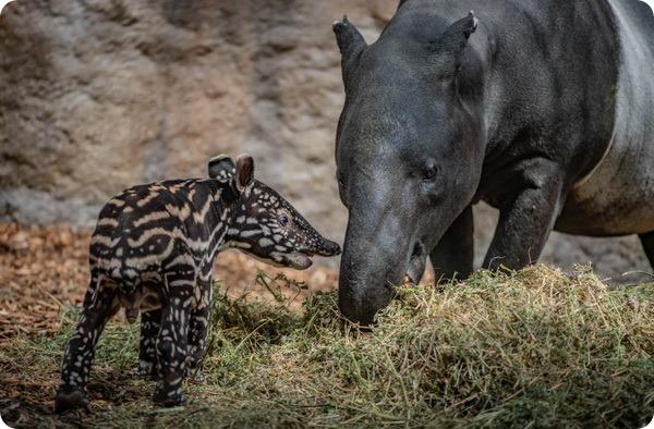 В зоопарке Честера родился детёныш малайского тапира