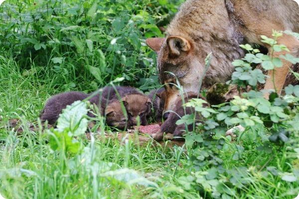 В сафари-парке Лонглит родилось семь волчат
