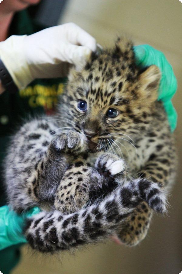 Детёныши амурского леопарда из зоопарка Розамонд Гиффорд