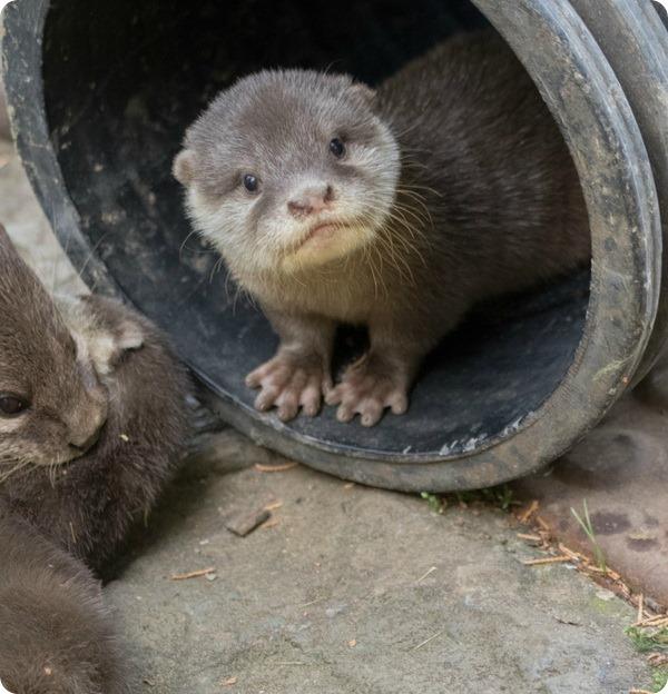 Детёныши восточной бескоготной выдры из зоопарка Банхема