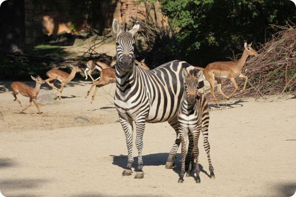 Зоопарк Ганновера познакомил посетителей с детёнышами зебр