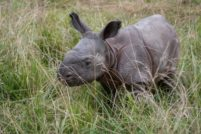 Сафари-парк Уайлдс представил детёныша индийского носорога