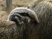 В River Safari родился детёныш гигантского муравьеда
