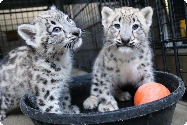 В зоопарке Омахи подрастают два детёныша снежного барса