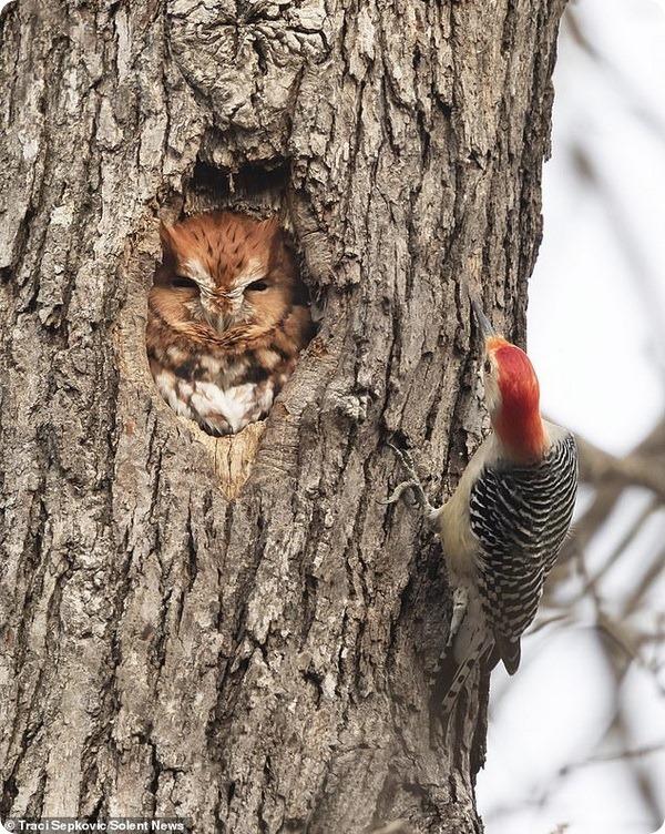 Дятел так и не смог прогнать сову из своего дупла
