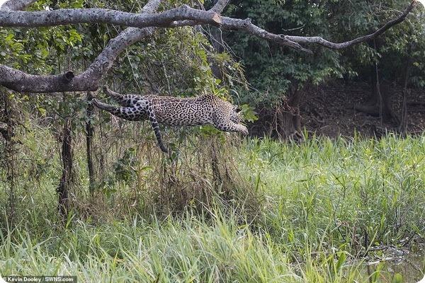 Ягуар атакует крокодила у реки в провинции Пантанал