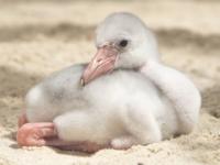 В зоопарке Майами вылупился птенец карибского фламинго