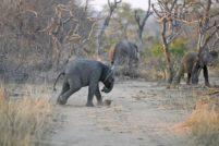 Слонёнок-футболист из заповедника в Южной Африке