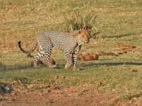 Голодный леопард пытается украсть еду у крокодила