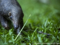 Спасённый панголин выпущен обратно в дикую природу