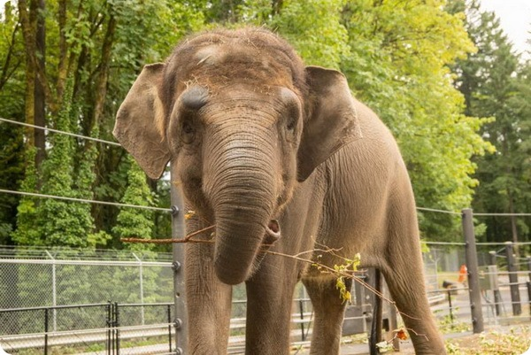 Слониха из зоопарка Орегона проходит курс реабилитации