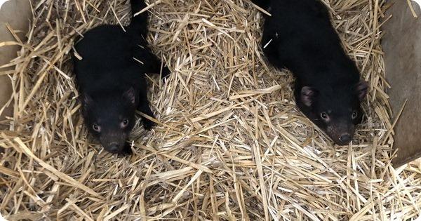 В парке Таронга детёныши тасманийского дьявола прошли осмотр