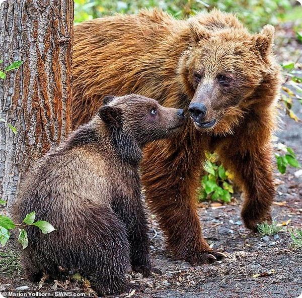 Медведица-гризли учит своего медвежонка тереться о дерево
