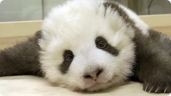В зоопарке Берлина подрастают детёныши большой панды