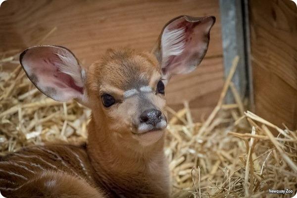 У пары ньял из зоопарка Ньюквей родился второй детёныш