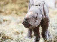 В зоопарке Мичигана подрастает детёныш чёрного носорога