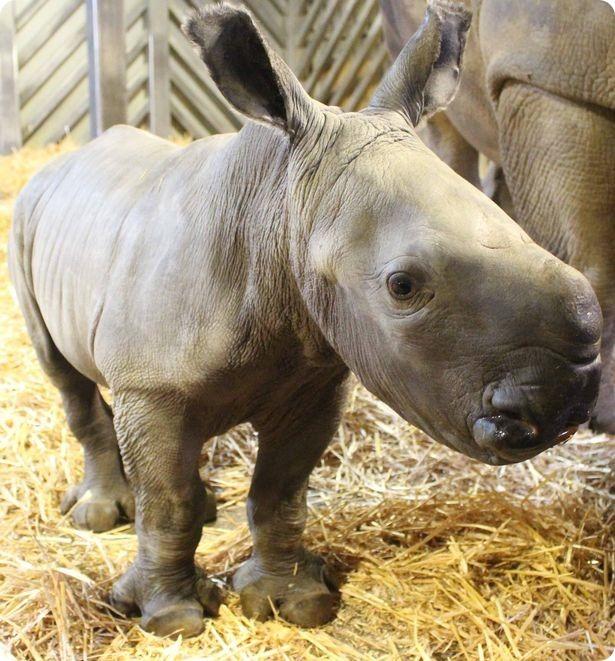 В зоопарке Колчестера детёнышу белого носорога дали имя