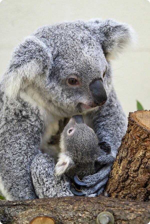 Зоопарк Майями представил детёныша коалы