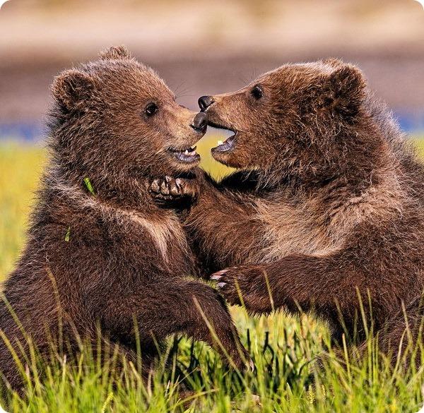 Счастливая медвежья семья из национального парка Катмай