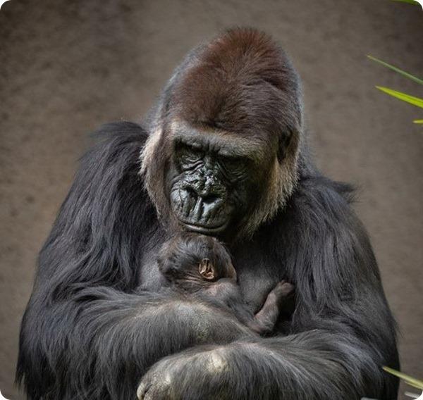 В зоопарке Лос-Анджелеса установили пол новорождённой гориллы