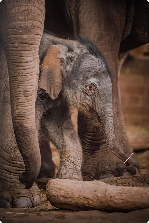 Зоопарк Честера показал детёныша азиатского слона