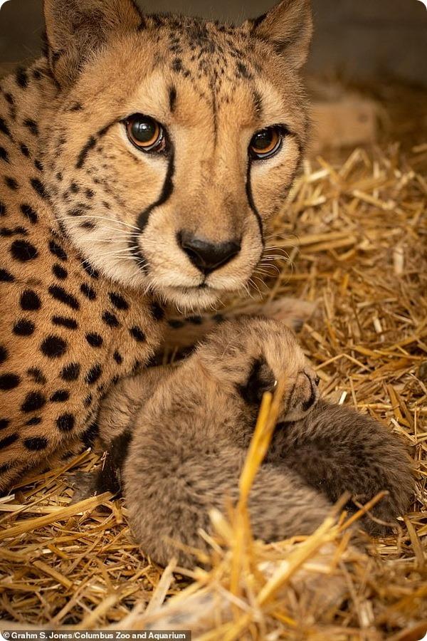 В зоопарке Коламбуса родились необычные детёныши гепарда