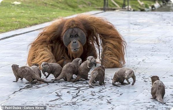 В Зоопарке Бельгии семья орангутангов подружилась с выдрами