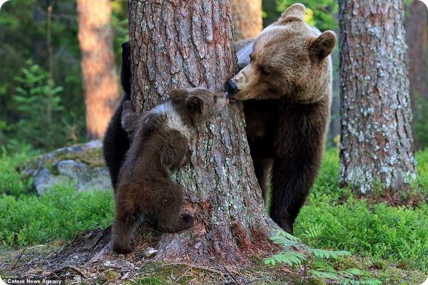 Медвежий хоровод в финском лесу