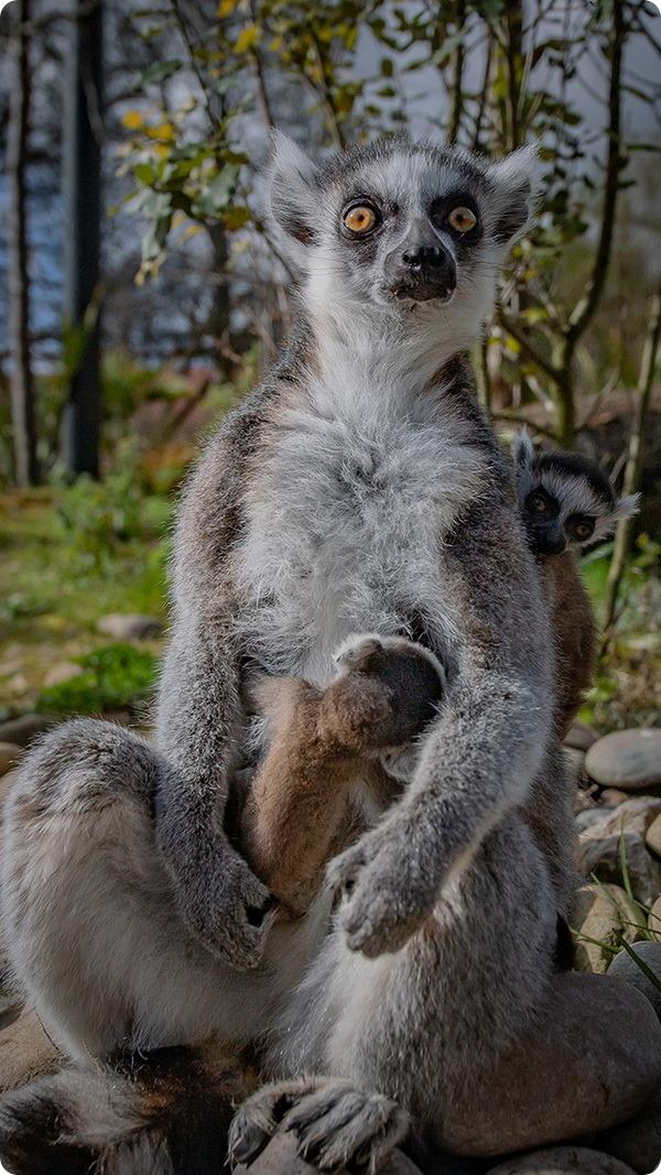 В зоопарке Честера подрастают редкие кошачьи лемуры