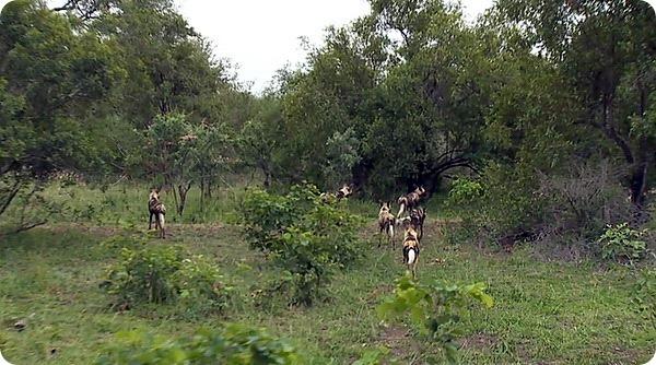 Слоны защищают маленьких слонят от гиеновидных собак
