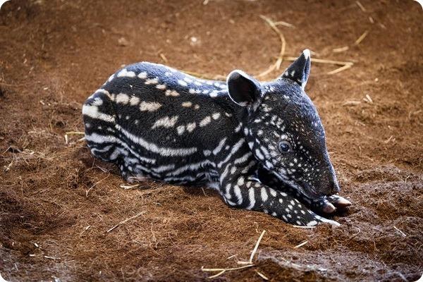 В зоопарке Праги родился детёныш малайского тапира