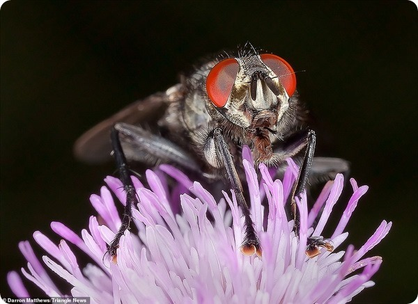 Крупные планы насекомых от фотографа Даррона Мэттьюса