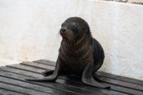 В зоопарке Таронга подрастает детёныш морского льва