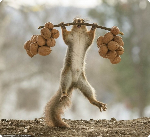 Белка-штангиста от шведского фотографа Герта Веггена