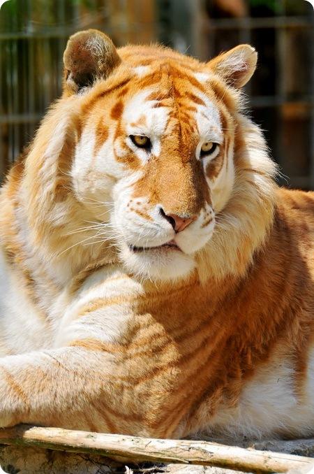 Дикие животные Goldentiger1