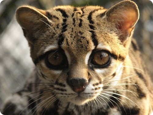 http://www.zoopicture.ru/wp-content/uploads/2009/01/margay12.jpg