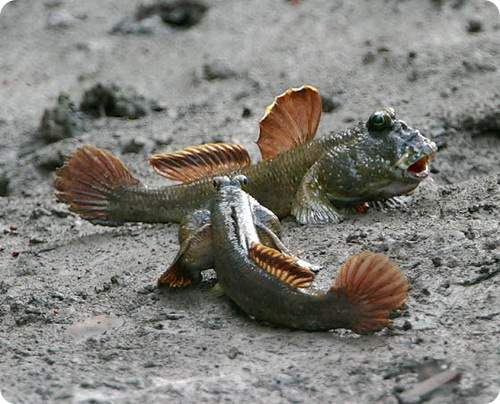 http://www.zoopicture.ru/wp-content/uploads/2009/01/mudskippers4.jpg