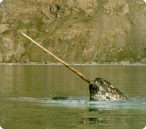 http://www.zoopicture.ru/wp-content/uploads/2009/02/narwhal2.jpg