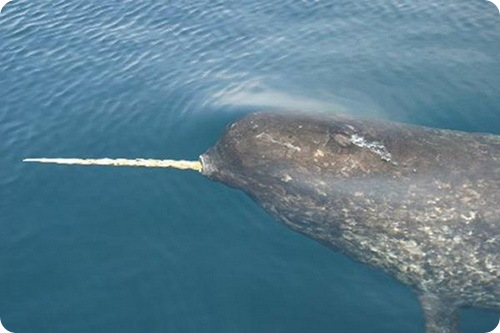 http://www.zoopicture.ru/wp-content/uploads/2009/02/narwhal6.jpg