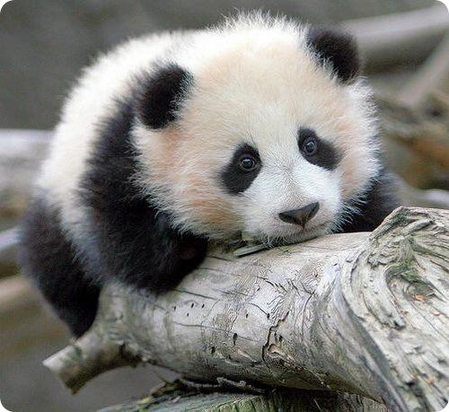 http://www.zoopicture.ru/wp-content/uploads/2009/02/panda1.jpg