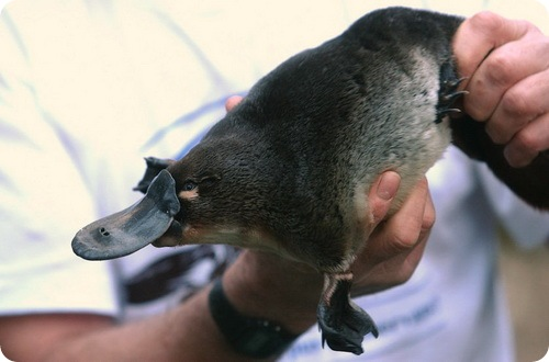 http://www.zoopicture.ru/wp-content/uploads/2009/02/platypus15.jpg
