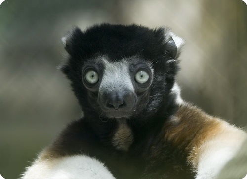 http://www.zoopicture.ru/wp-content/uploads/2009/02/sifaka1.jpg