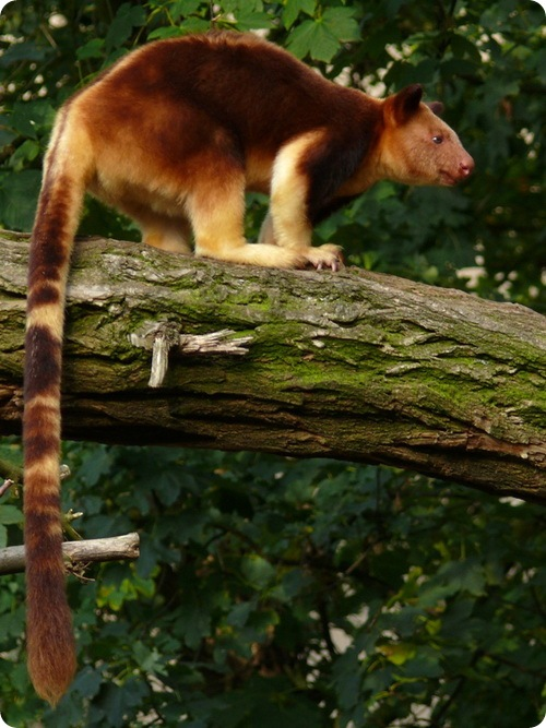 http://www.zoopicture.ru/wp-content/uploads/2009/04/dendrolagus7.jpg